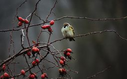A sparrow among the red hips of the dog rose. stock photos