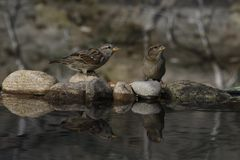 Sparrow reflection drinking portrait. Sparrow bird reflection while drinking, feeding young Royalty Free Stock Image