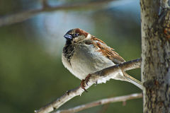 Sparrow - a regular inhabitant of the  parks. Stock Images