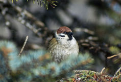 Sparrow - a regular inhabitant of the  parks. Stock Photos