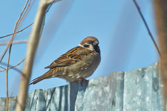 Sparrow - a regular inhabitant of the  parks. Royalty Free Stock Photo
