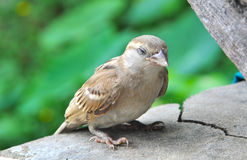 Sparrow resting Stock Photos