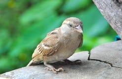 Sparrow resting Stock Photos