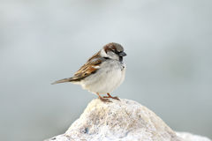 Sparrow resting on limestone rock Stock Image