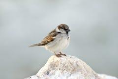 Sparrow Resting On Limestone Rock Stock Image