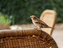 Sparrow resting on reed chair Stock Photos