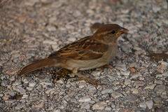 Sparrow resting on the street. Background Royalty Free Stock Image