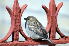 Sparrow rests on red fence. Small sparrow rests on a red fence after dense dinner Stock Image