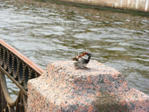 Sparrow at the river. Lonesome sparrow at the river. Wildlife Stock Photography