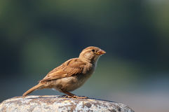 Sparrow on rock Stock Photo