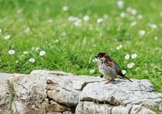 Sparrow on a rock. Little sparrow standing on a rock wall next to green grass and flowers Royalty Free Stock Photography
