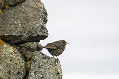 Sparrow on the rock Royalty Free Stock Image
