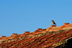 Sparrow on the roof. Little sparrow on the roof on a sunny day Stock Images