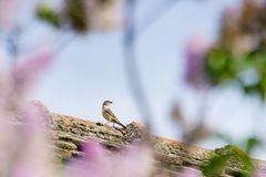Sparrow on the roof of the house through blurred branches and pi. Nk flowers of a tree Stock Photos