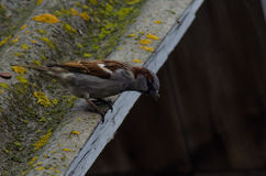 Sparrow on the roof. With moss Stock Photography