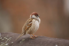 Sparrow on a roof Stock Photos