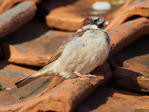 Sparrow on rooftops. A close up of a sparrow on top of a terracotta roof Royalty Free Stock Images