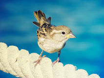 Sparrow. On a rope on the blue sea background Stock Image