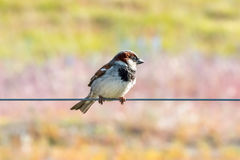 Sparrow on a rope. New Zealand, Dec 2016: Sparrow looking to the right side on rope with a colorful background Royalty Free Stock Photo