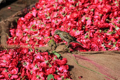 Sparrow and rose petals Stock Photography