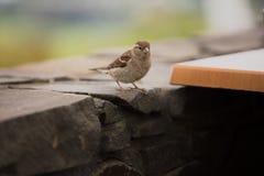 Sparrow in Rotorua royalty free stock photography