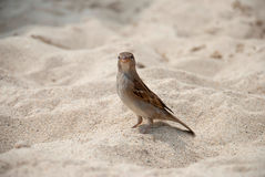 Sparrow on the sand Stock Images