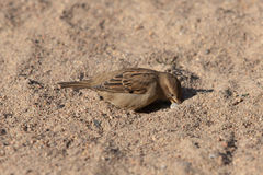 Sparrow on the sand Royalty Free Stock Image