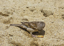 Sparrow in the Sand Eating Snack Stock Photo