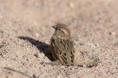 Sparrow on the sand Stock Photos