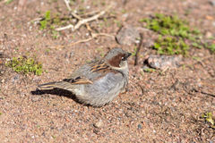Sparrow on the sand Stock Image