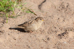 Sparrow on the sand Stock Photo