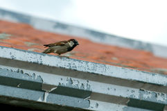 Sparrow seated on a roof Royalty Free Stock Photo