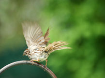 Sparrow shaking water off. Stock Photo
