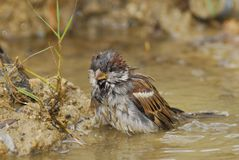 Sparrow on shower Stock Images