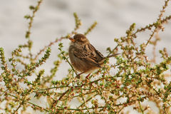 Sparrow on the Shrubbery Stock Image