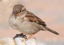 Sparrow shy Stock Images