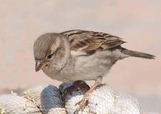 Sparrow shy Stock Photo
