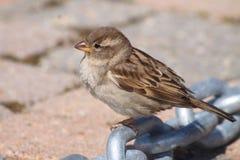 Sparrow shy Royalty Free Stock Photo