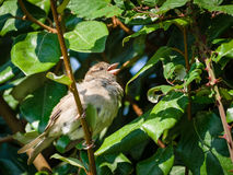 A Sparrow perched in a hedge Royalty Free Stock Photos