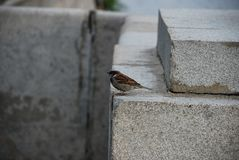 The sparrow sit on the edge of the stone wall of the building in the city stock images