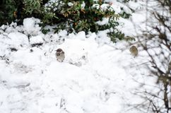 Sparrow sit on a snowdrift. Snowy winter. royalty free stock photos