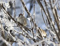 The sparrow sits on the branch of the snow snow winter feathers beak Royalty Free Stock Images