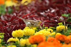 Sparrow sits on a flower Royalty Free Stock Photo