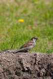 The sparrow sits on the ground Royalty Free Stock Photos