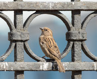 Sparrow sits on a metal fence Stock Image