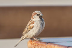 Sparrow sits not a wooden table in the park. Royalty Free Stock Photos