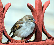 Sparrow sits on red fence. A glorious sparrow sits thoughtful on red fence Royalty Free Stock Image