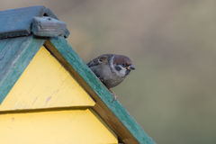 Sparrow sits on the roof Royalty Free Stock Photo