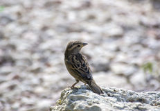 A sparrow sits on a stone. Sparrow standing on a stone wall Royalty Free Stock Photo