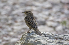 A sparrow sits on a stone. Sparrow standing on a stone wall Stock Photos
